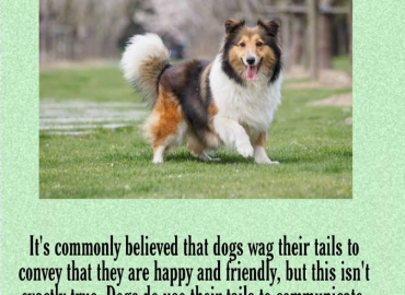 Why dog wag their tails