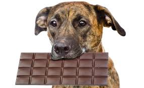 How Much Chocolate Is Toxic for Dogs? (Less Than You'd Think.)